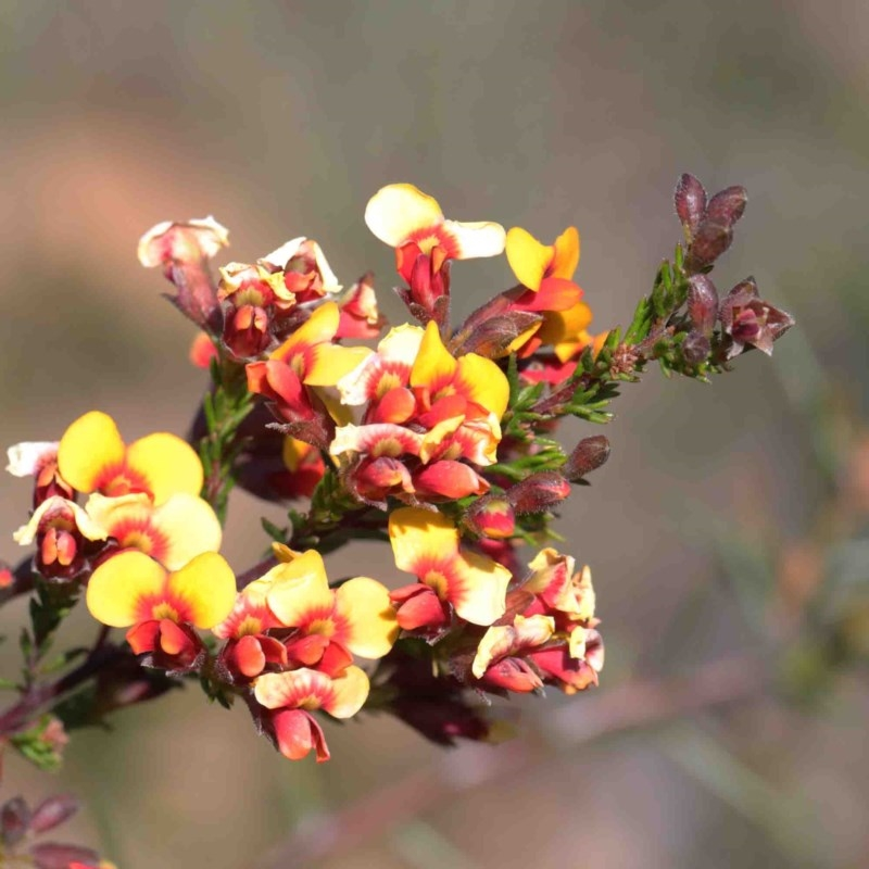 Dillwynia phylicoides at Dryandra St Woodland - 3 Oct 2020