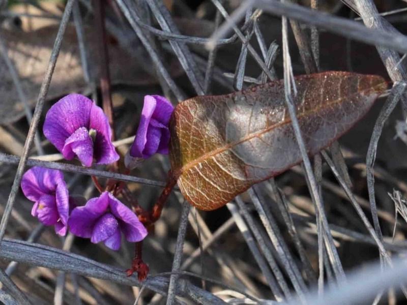 Hardenbergia violacea at Dryandra St Woodland - 3 Oct 2020
