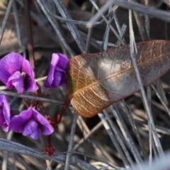 Hardenbergia violacea (False Sarsaparilla) at Dryandra St Woodland - 2 Oct 2020 by ConBoekel