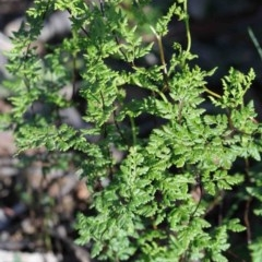 Cheilanthes sieberi (Rock fern) at Dryandra St Woodland - 2 Oct 2020 by ConBoekel