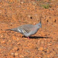 Ocyphaps lophotes (Crested Pigeon) at Dryandra St Woodland - 2 Oct 2020 by ConBoekel