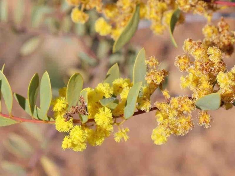 Acacia buxifolia subsp. buxifolia at Dryandra St Woodland - 3 Oct 2020