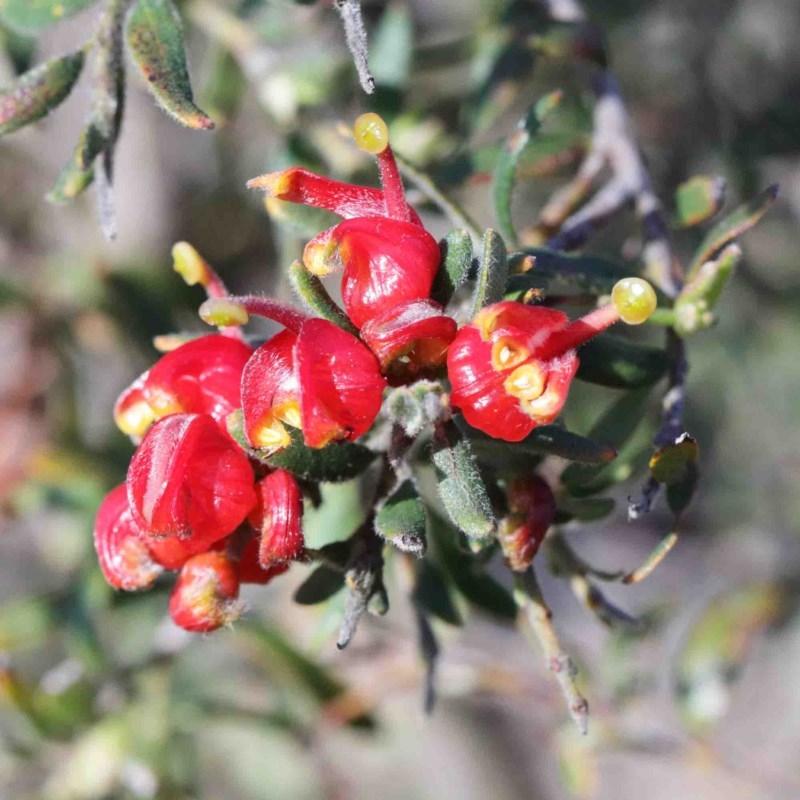 Grevillea alpina at Dryandra St Woodland - 3 Oct 2020