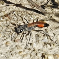 Podalonia tydei (Caterpillar-hunter wasp) at Jedbinbilla - 4 Oct 2020 by JohnBundock