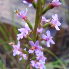 Stylidium graminifolium (Grass Triggerplant) at ANBG - 6 Oct 2020 by HelenCross