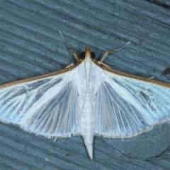 Palpita margaritacea (Spilomelinae, Pearl Moth) at Lilli Pilli, NSW - 6 Oct 2020 by jbromilow50