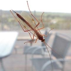 Ichneumonidae sp. (family) (Unidentified ichneumon wasp) at Rugosa at Yass River - 6 Oct 2020 by SenexRugosus
