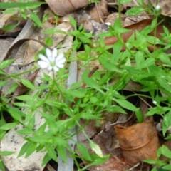 Stellaria flaccida (Forest Starwort) at Biamanga National Park - 30 Sep 2020 by JackieLambert