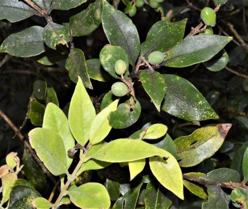 Notelaea longifolia at Jervis Bay National Park - 7 Oct 2020