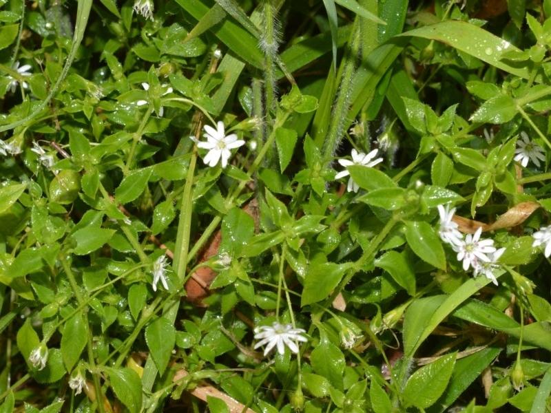Stellaria flaccida at Jervis Bay National Park - 7 Oct 2020