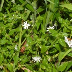 Stellaria flaccida (Forest Starwort) at Jervis Bay National Park - 7 Oct 2020 by plants