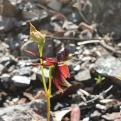 Caleana major (Flying ducks) at Greenwich Park, NSW - 4 Oct 2020 by Philip