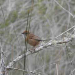 Stipiturus malachurus (Southern Emu-wren) at Panboola - 4 Oct 2020 by Liam.m