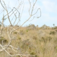 Pezoporus wallicus (Eastern Ground Parrot) at Ben Boyd National Park - 3 Oct 2020 by Liam.m
