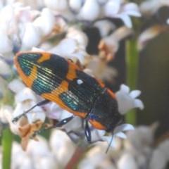 Castiarina subgrata (Jewel beetle) at Tianjara, NSW - 3 Oct 2020 by Harrisi