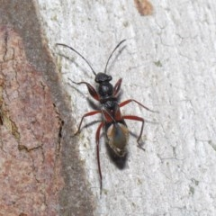 Daerlac cephalotes (Ant Mimicking Seedbug) at ANBG - 4 Oct 2020 by TimL