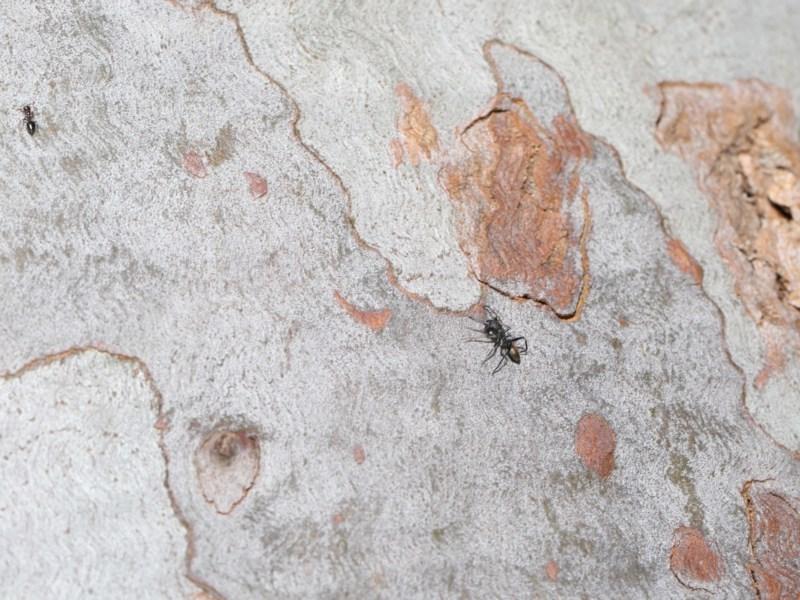 Myrmarachne sp. (genus) at ANBG - 4 Oct 2020