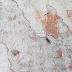 Myrmarachne sp. (genus) (Unidentified Ant-mimic jumping spider) at ANBG - 4 Oct 2020 by TimL