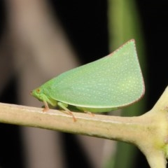 Siphanta acuta (Green planthopper, Torpedo bug) at ANBG - 4 Oct 2020 by TimL