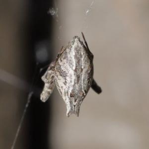 Philoponella congregabilis at ANBG - 4 Oct 2020