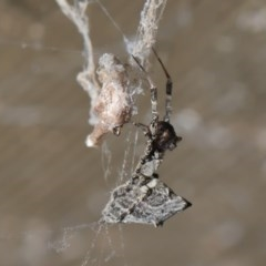 Philoponella congregabilis (Social house spider) at ANBG - 3 Oct 2020 by TimL