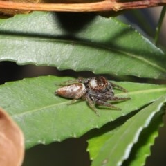 Opisthoncus sp. (genus) (Unidentified Opisthoncus jumping spider) at ANBG - 4 Oct 2020 by TimL