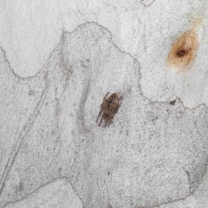 Eriophora pustulosa at ANBG - 4 Oct 2020