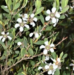 Leptospermum laevigatum (Coast Teatree) at Jervis Bay Marine Park - 7 Oct 2020 by plants