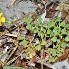 Oxalis rubens (Dune Wood-sorrel) at Jervis Bay Marine Park - 7 Oct 2020 by plants