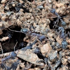 Myrmecia sp. (genus) (Bull ant or Jack Jumper) at Mount Painter - 7 Oct 2020 by CathB