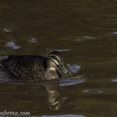 Anas superciliosa (Pacific Black Duck) at Molonglo River Park - 26 Sep 2020 by BIrdsinCanberra