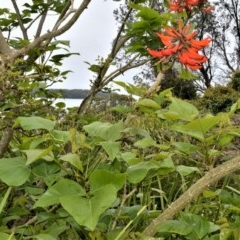 Erythrina x sykesii (Coral Tree) at Jervis Bay Marine Park - 7 Oct 2020 by plants