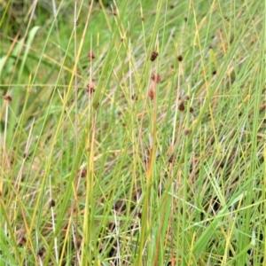 Ficinia nodosa at Jervis Bay Marine Park - 7 Oct 2020