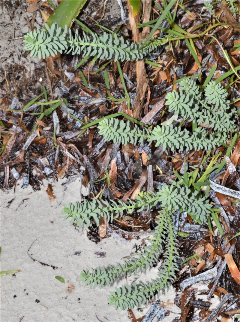 Cakile maritima at Jervis Bay National Park - 7 Oct 2020