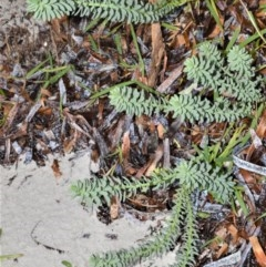 Cakile maritima (Sea Rocket) at Jervis Bay National Park - 7 Oct 2020 by plants