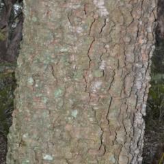 Endiandra sieberi at Jervis Bay National Park - 8 Oct 2020