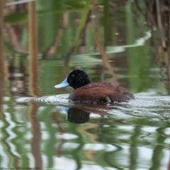 Oxyura australis (Blue-billed Duck) at Jerrabomberra Wetlands - 7 Oct 2020 by Roger