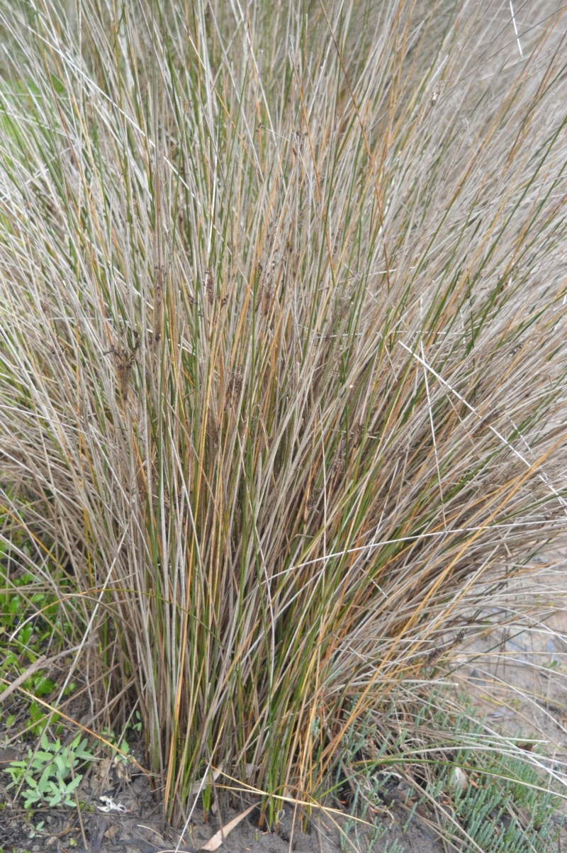 Juncus kraussii subsp. australiensis at Jervis Bay National Park - 8 Oct 2020