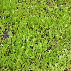 Selliera radicans (Shiny Swamp-mat) at Jervis Bay National Park - 7 Oct 2020 by plants