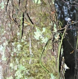 Dendrobium teretifolium at Jervis Bay National Park - 8 Oct 2020