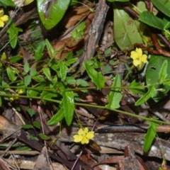 Goodenia heterophylla (Variable-leaved Goodenia) at Jervis Bay National Park - 7 Oct 2020 by plants