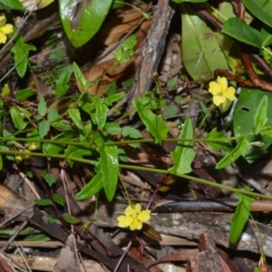 Goodenia heterophylla at Jervis Bay National Park - 8 Oct 2020