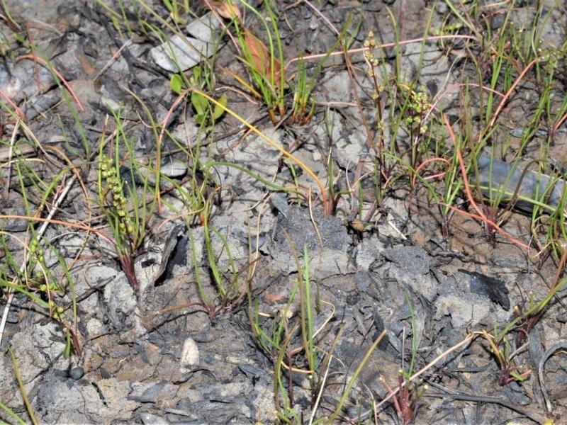 Triglochin striata at Jervis Bay National Park - 8 Oct 2020