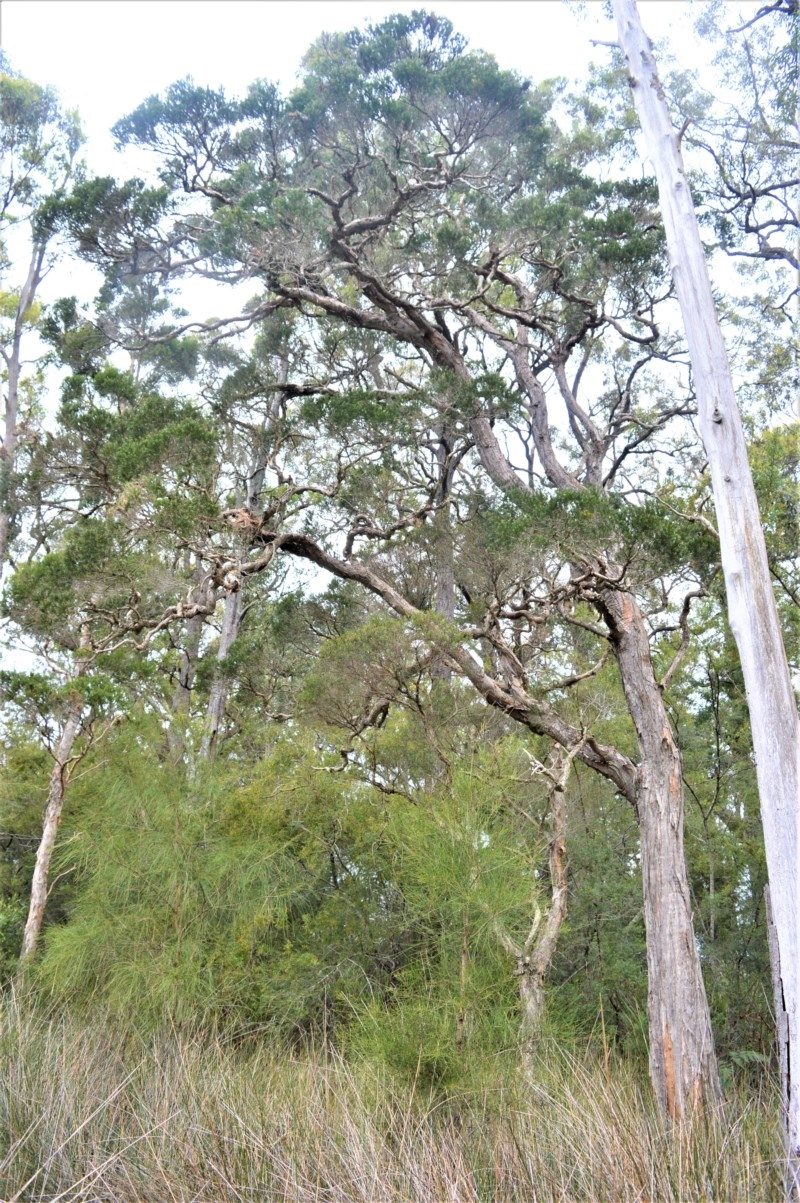 Melaleuca decora at Jervis Bay National Park - 8 Oct 2020