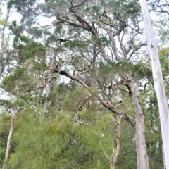 Melaleuca decora at Jervis Bay National Park - 7 Oct 2020 by plants