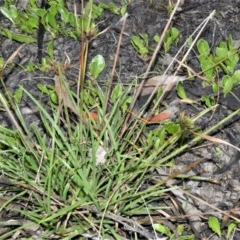 Cyperus polystachyos (Bunchy Flat-sedge) at Jervis Bay National Park - 7 Oct 2020 by plants