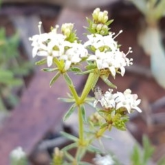 Asperula conferta (Common Woodruff) at Kaleen, ACT - 8 Oct 2020 by tpreston
