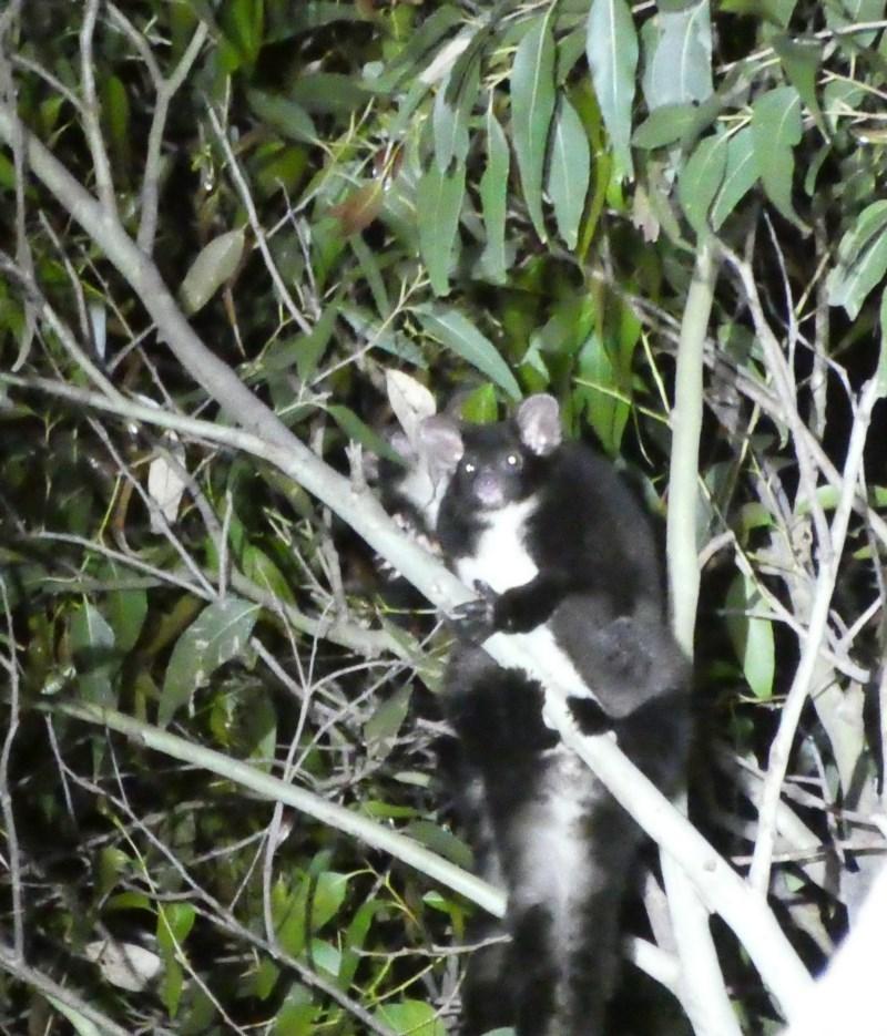 Petauroides volans at South Durras, NSW - 29 Sep 2020