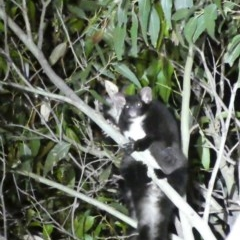 Petauroides volans (Greater Glider) at South Durras, NSW - 29 Sep 2020 by HelenR