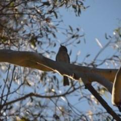 Pachycephala pectoralis (Golden Whistler) at Wamboin, NSW - 28 Aug 2020 by natureguy